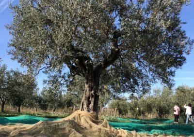 Raccolta_Olive_2020_48