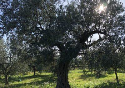 Raccolta_Olive_2020_49
