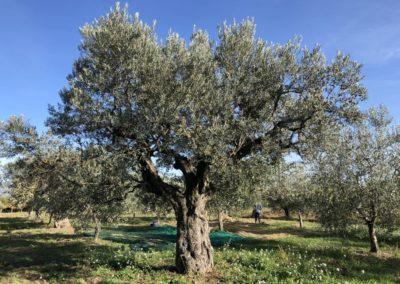 Raccolta_Olive_2020_50
